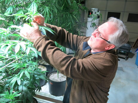 Ben Holmes examines the hemp leaves on his plants. He says the plants get to be 20 feet tall.
