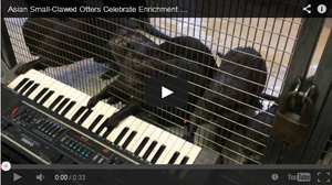 Otters play the keyboard at the National Zoo.