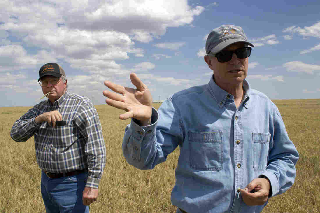 Brothers Fred and Wayne Schmedt run a wheat farm in southwest Oklahoma. They say their wheat stalks are about a third as tall as usual.