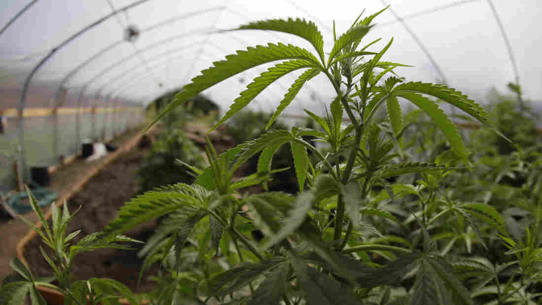 Marijuana grown for medical purposes is shown inside a greenhouse at a farm in Potter Valley, Calif.
