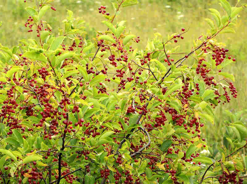 Twigs and leaves from chokecherries are high in vitamin K, fiber and calcium.