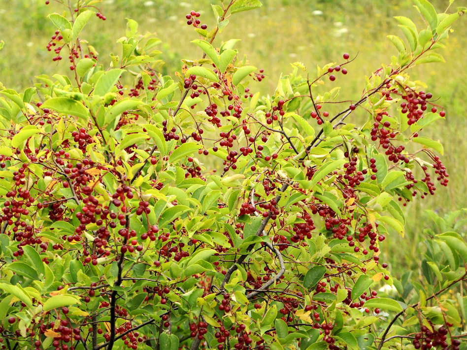 Twigs and leaves from chokecherries are high in vitamin K, fiber and calcium. (pverdonk/iStockphoto)