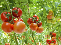 Hydroponic tomatoes are now just as tasty as tomatoes grown outside in perfect summer conditions, scientists say.