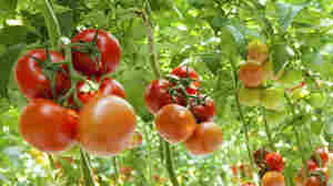 Hydroponic Tomatoes May One Day Be Tastier Than Ones Grown Outside