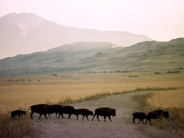 Adult bison and calves cross a dirt road on Antelope Island, northwest of Salt Lake City. A team of scientists from Utah State University has developed a smartphone app to track animal-vehicle collisions.