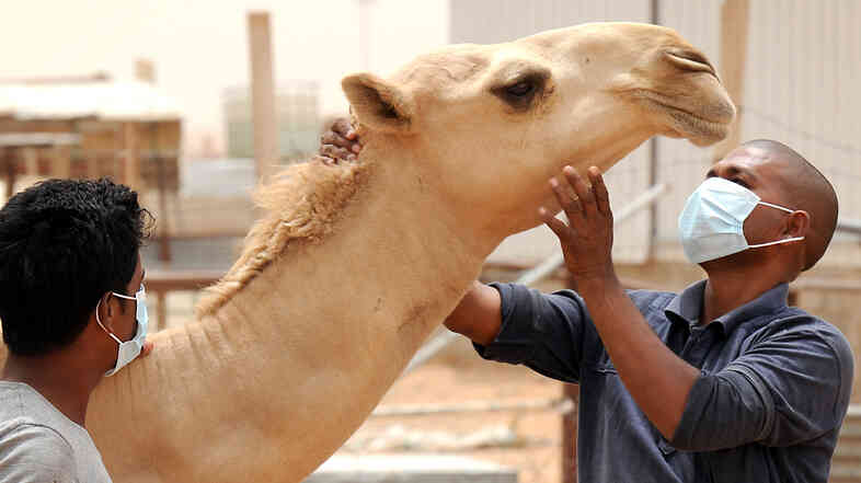 A worker wears a mask as he touches a camel at his employer's farm on May 12, outside Riyadh, Saudi Arabia.