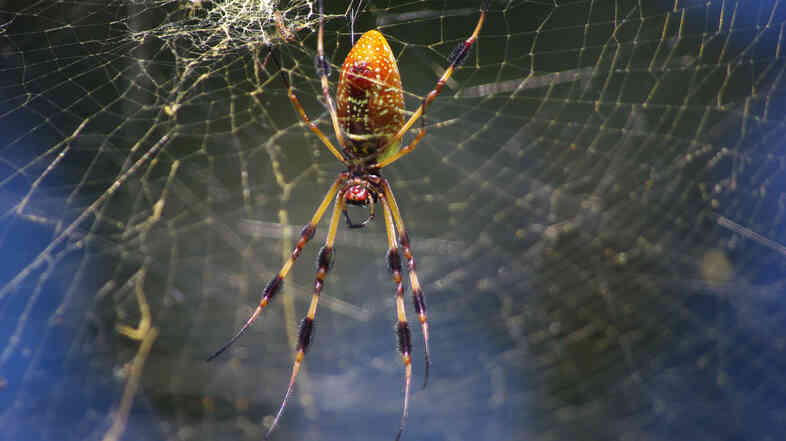 "Hairlike sensors on the the legs of the golden silk spider help it ""listen"" to the thrum of its web."