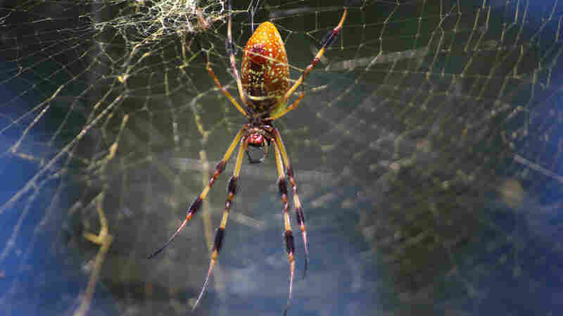 """Hairlike sensors on the the legs of the golden silk spider help it """"listen"""" to the thrum of its web."""