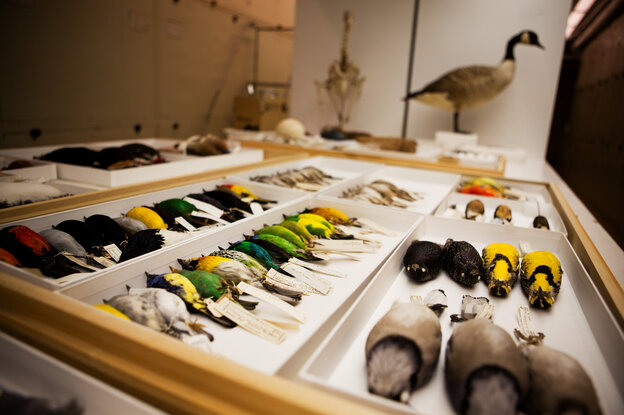 A small portion of the bird collection at the Smithsonian's National Museum of Natural History.