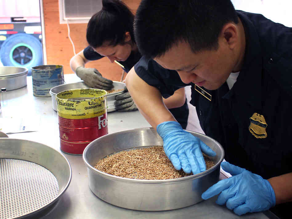 David Ng (right) and Amanda Furrow, Customs and Border Protection agricultural specialists, inspect wheat for insects and alien seeds at a port in Baltimore,