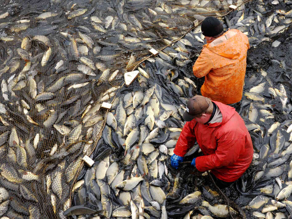 Carp are collected at a breeding farm near the Belarus village of Ozerny in November 2013. Researchers say there's a lot the aquaculture industry can do to be more efficient.