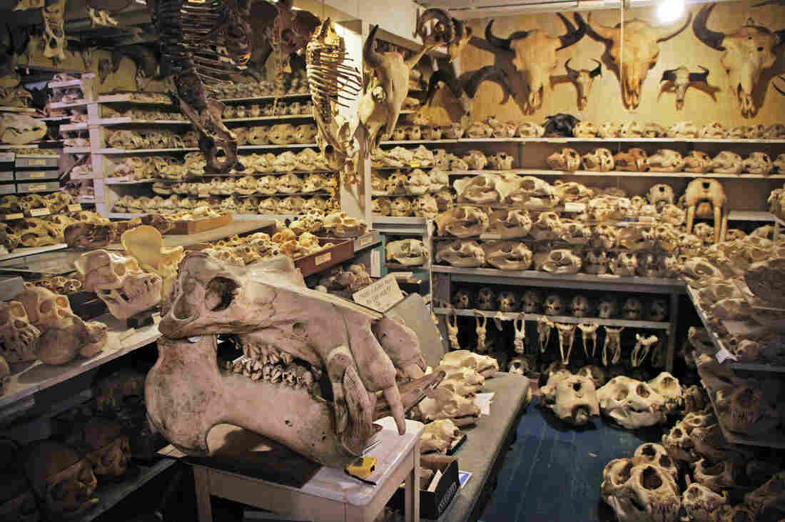Ray Bandar keeps his skull collection in his San Francisco basement. Some are now on view at the California Academy of Sciences, and eventually he will donate all 7,000 skulls to the academy.