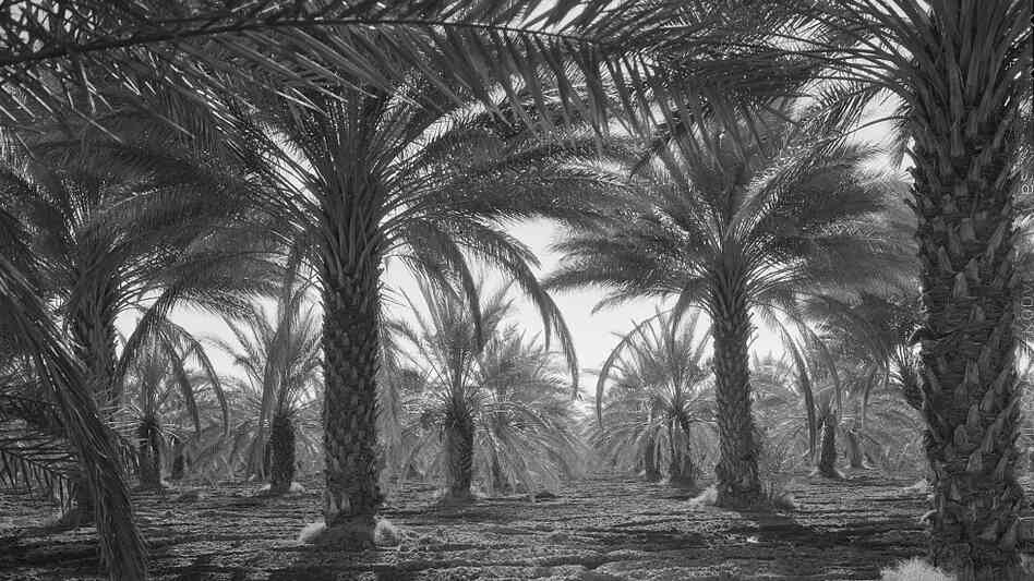 Date palms in Coachella Valley, Calif.