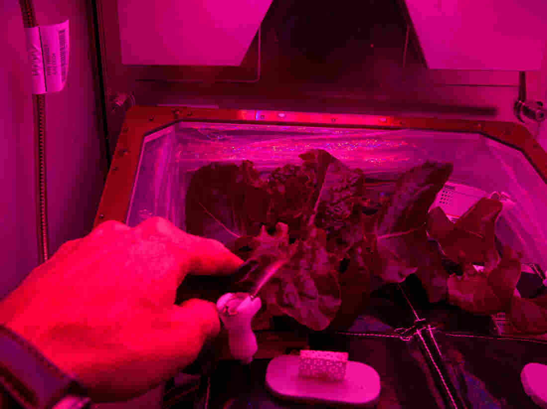 How does your garden grow? An astronaut checks on his lettuce plants aboard the International Space Station.