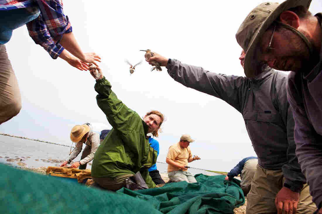Volunteers carefully collect birds from the net, sorting and counting as they go. Nationally, the number of red knots has dropped by 75 percent since the 1980s.