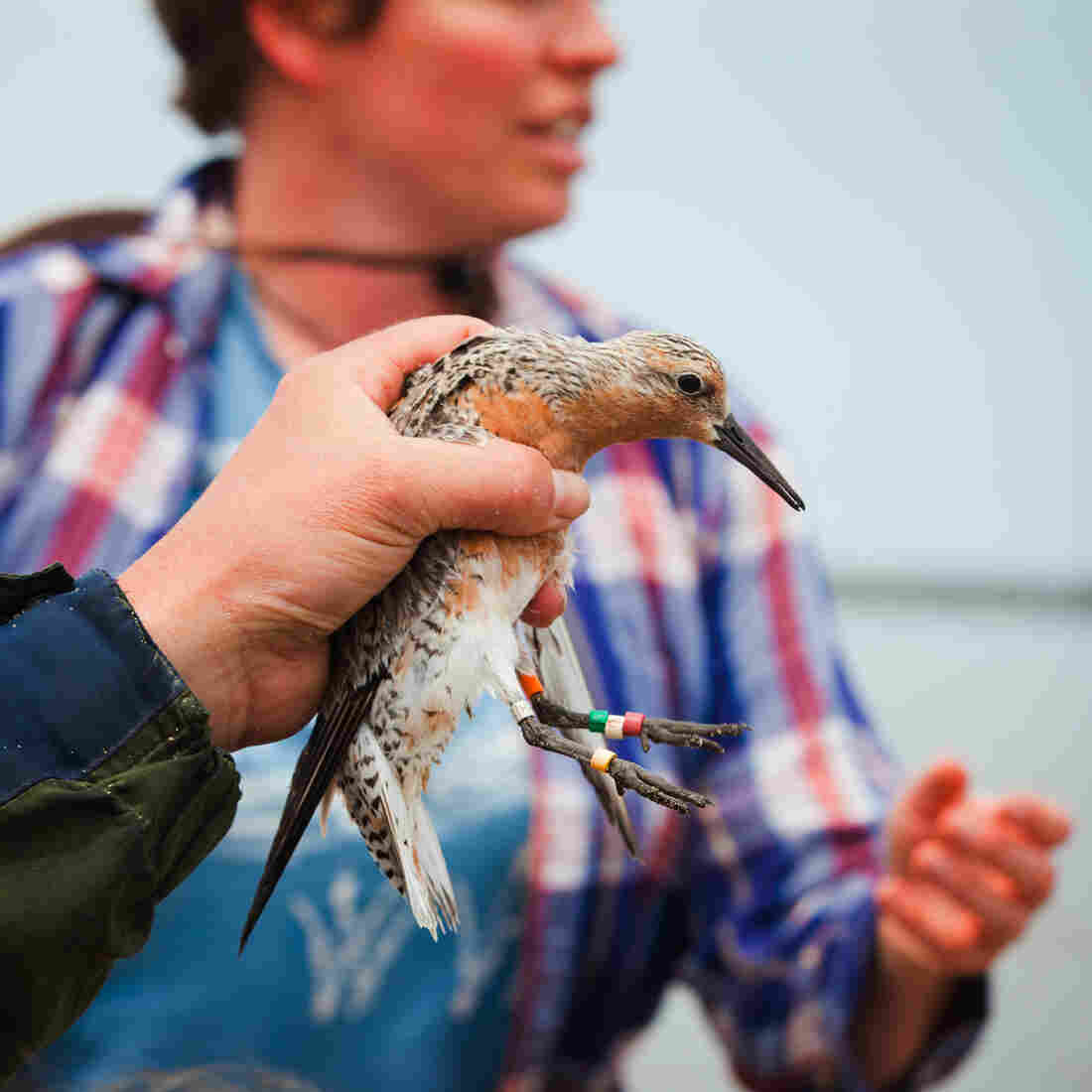 Shifts In Habitat May Threaten Ruddy Shorebird's Survival