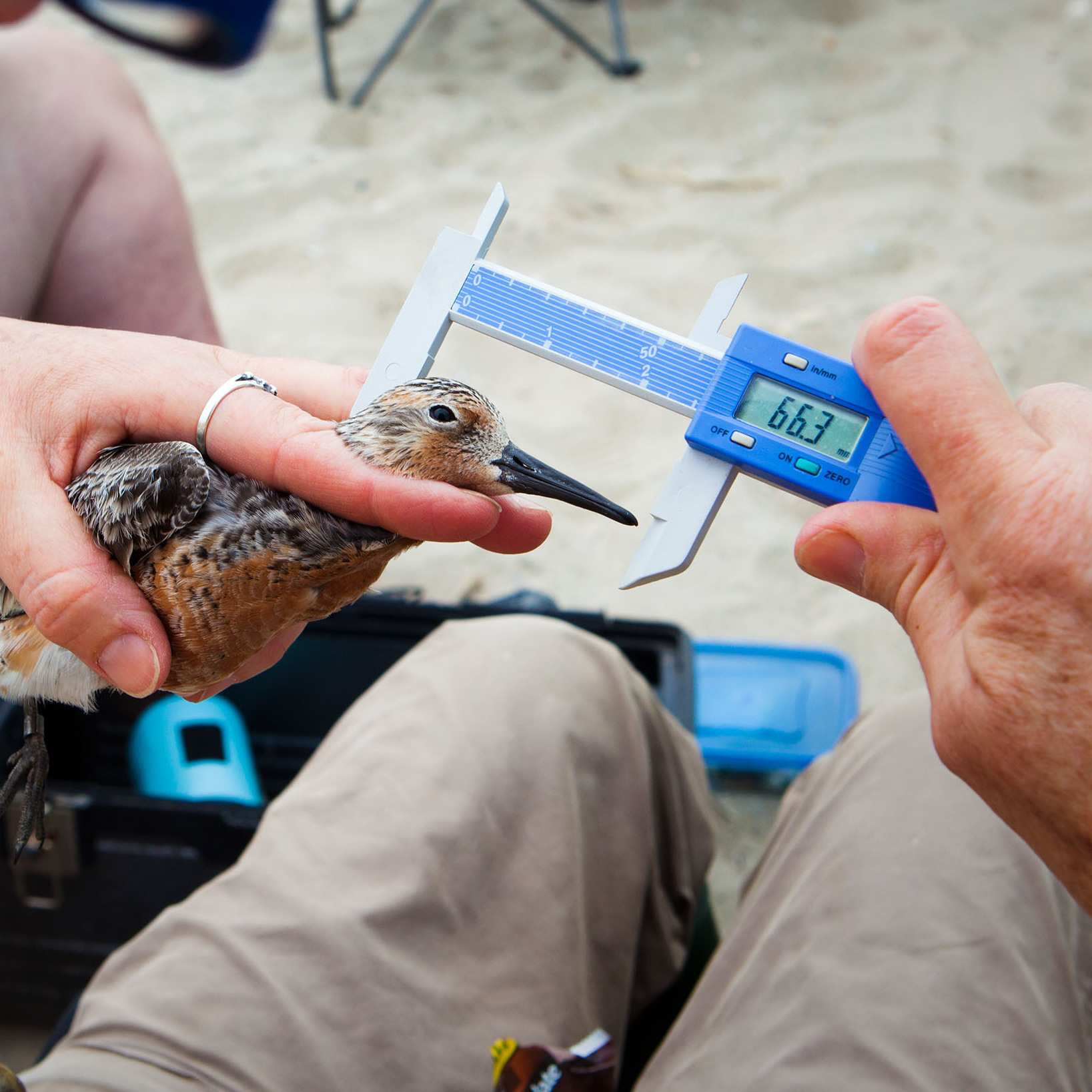 Volunteers sort the birds by species. Then, one by one, each bird is measured, weighed and banded.