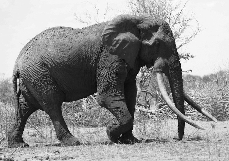 One Of Kenya's Legendary 'Tuskers' Is Killed By Poachers
