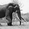 Satao was a rare elephant with tusks so big they almost touched the ground.