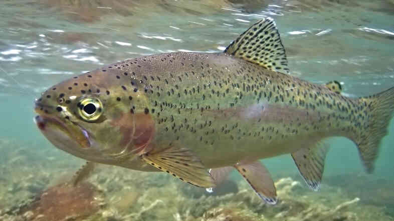 A rainbow trout swims in a fast moving river.