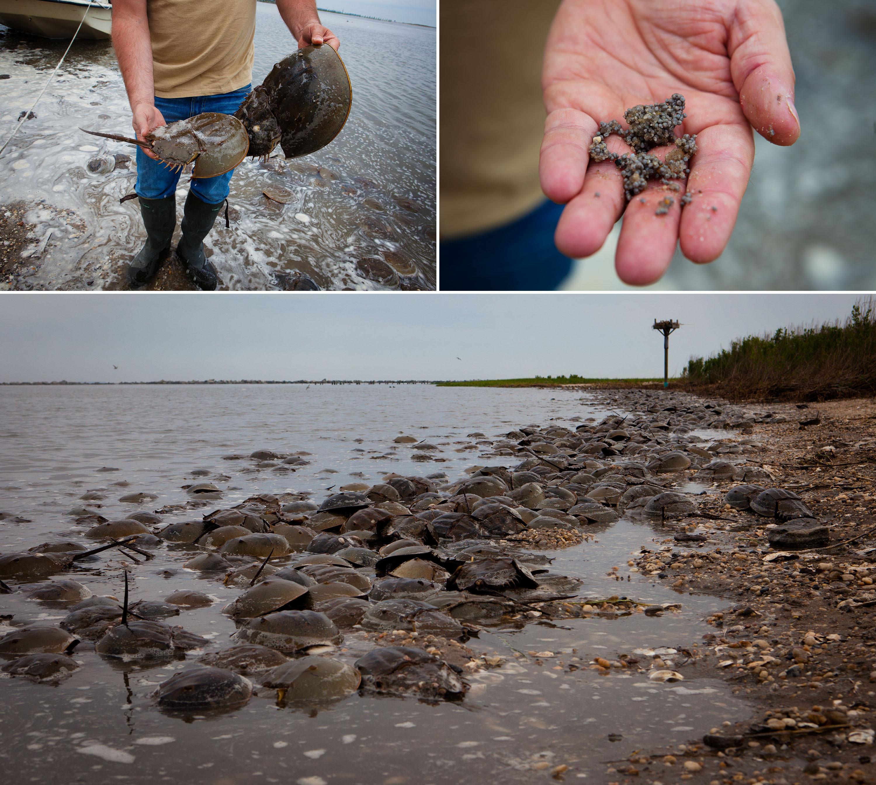 Shifts In Habitat May Threaten Ruddy Shorebird's Survival