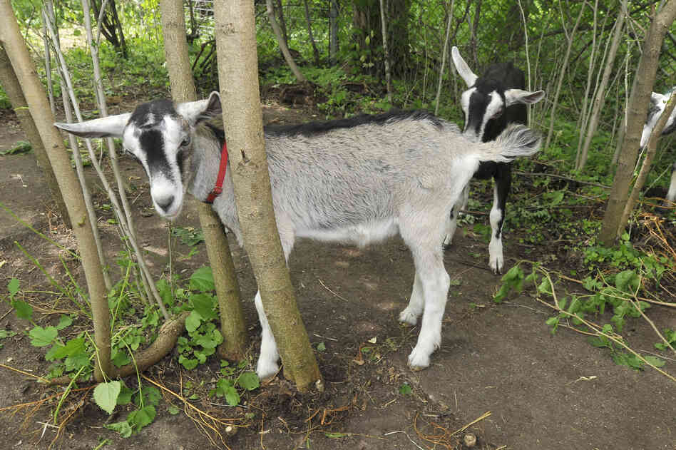 Goats graze in Detroit's Brightmoor neighborhood.