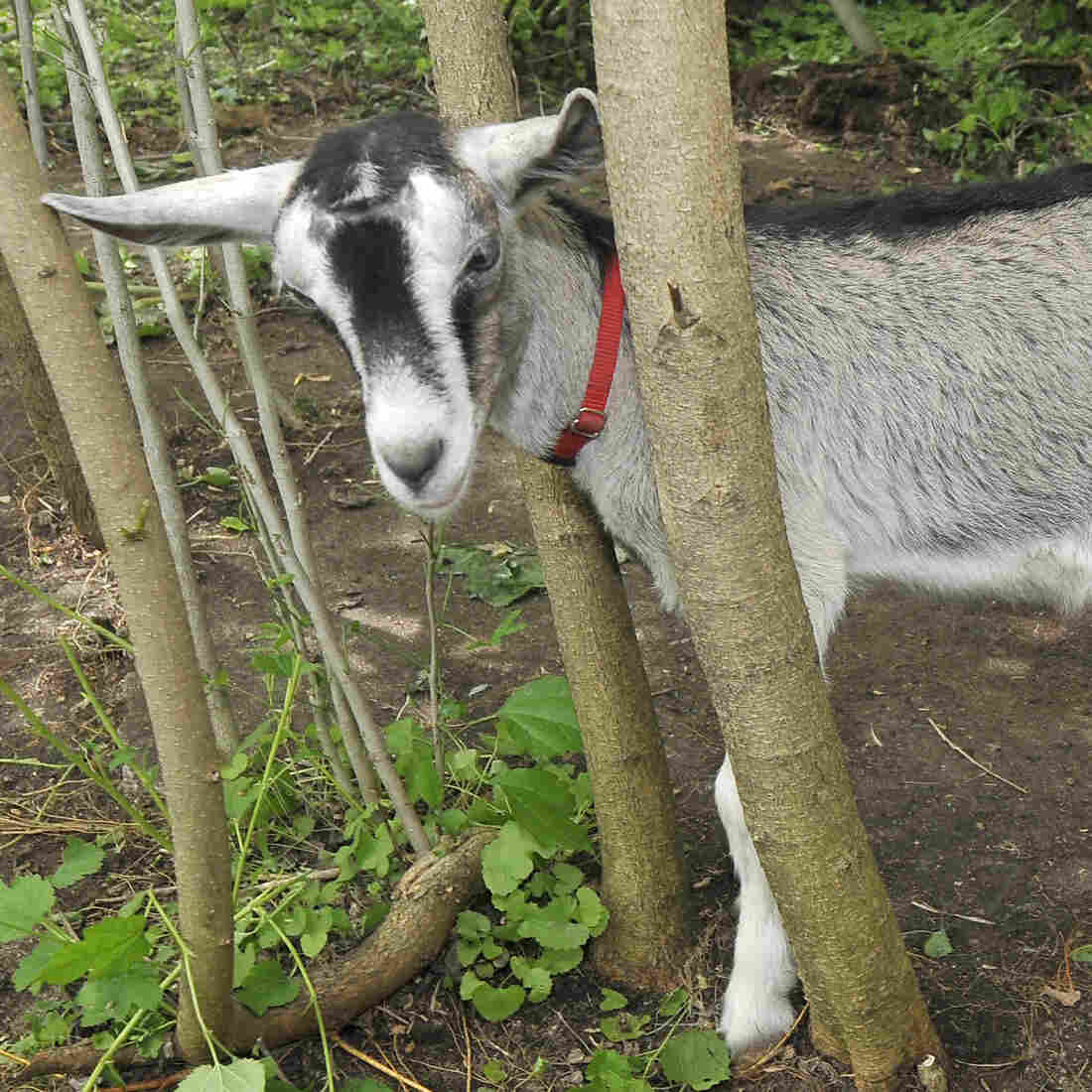 Goats In The City? Making A Case For Detroit's Munching Mowers