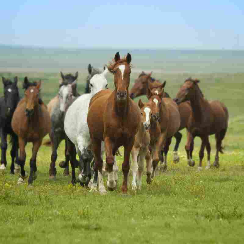 A group of horses runs toward the camera.