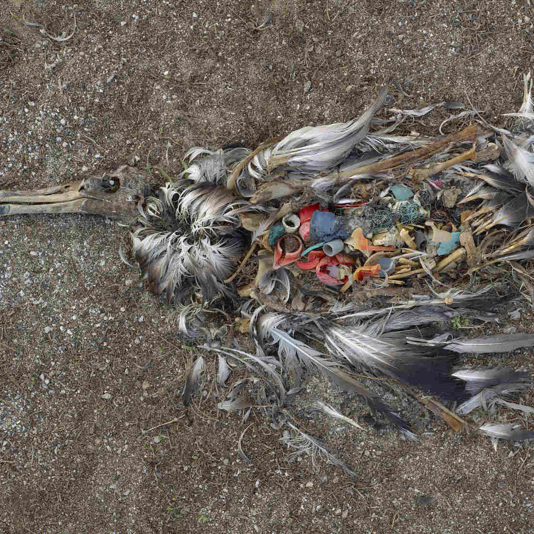 A dead young albatross on the Midway Atoll in the Pacific Ocean. You can see more of photographer Chris Jordan's work on the effects of plastics on seabirds at The Picture Show.