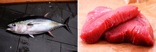 A yellowfin tuna caught in the Gulf of Mexico; a yellowfin tuna steak.