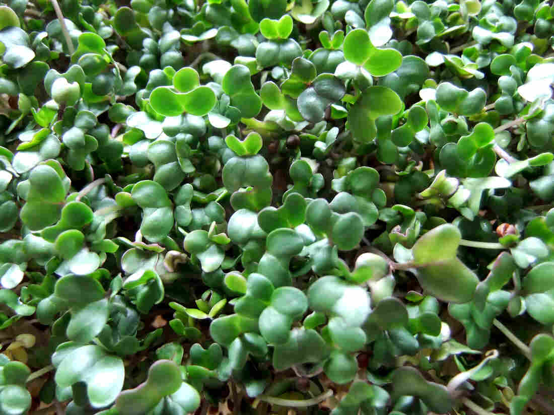 Researchers say eating broccoli sprouts could help protect against the harmful effects of air pollution.