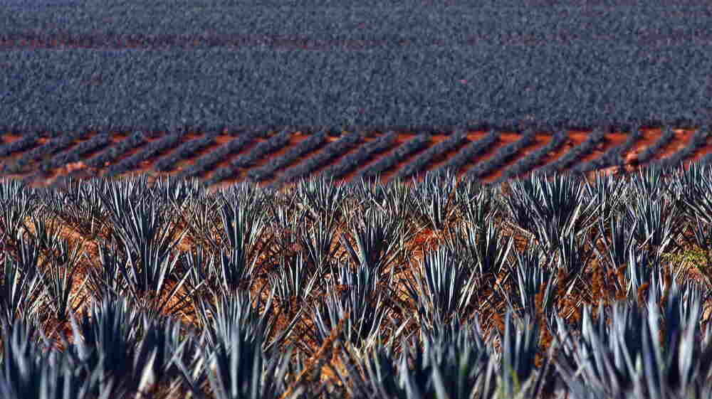Tequila Nation: Mexico Reckons With Its Complicated Spirit