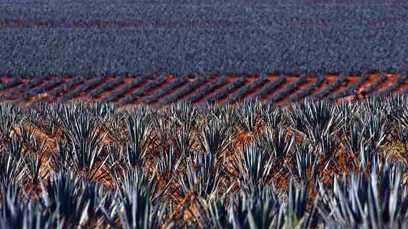 Blue agaves grow in a plantation for the production of tequila in Arandas, Jalisco state, Mexico, in December 2010. In the past 20 years, tequila has become fashionable all over the world, demonstrating that producers' international sales strategy has been a great success.