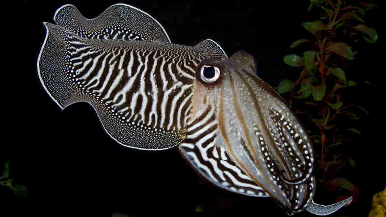 A curious cuttlefish stares back at the camera from inside The Smithsonian's National Zoo Invertebrate Exhibit. The exhibit, home to dozens of small aquatic and terrestrial species without backbones, closed on Sunday.