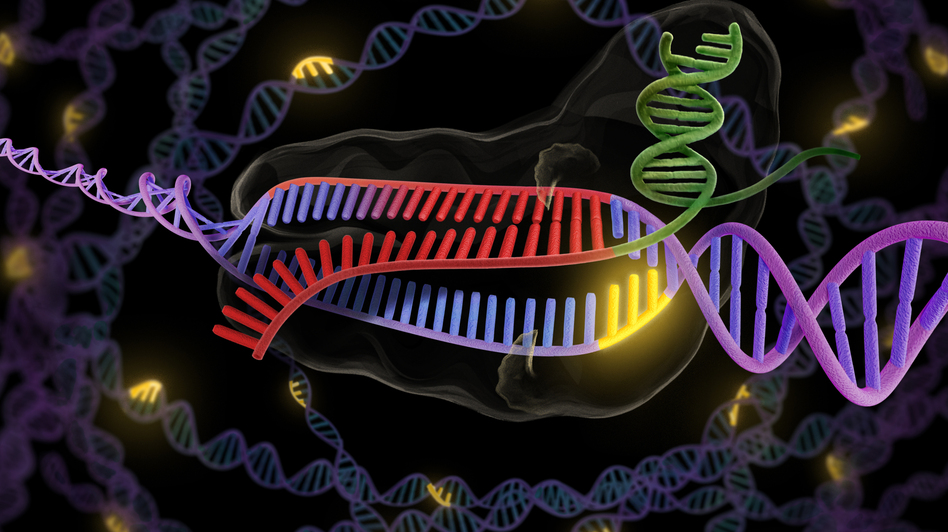 The CRISPR enzyme (green and red) binds to a stretch of double-stranded DNA (purple and red), preparing to snip out the faulty part. (Illustration courtesy of Jennifer Doudna/UC Berkeley)