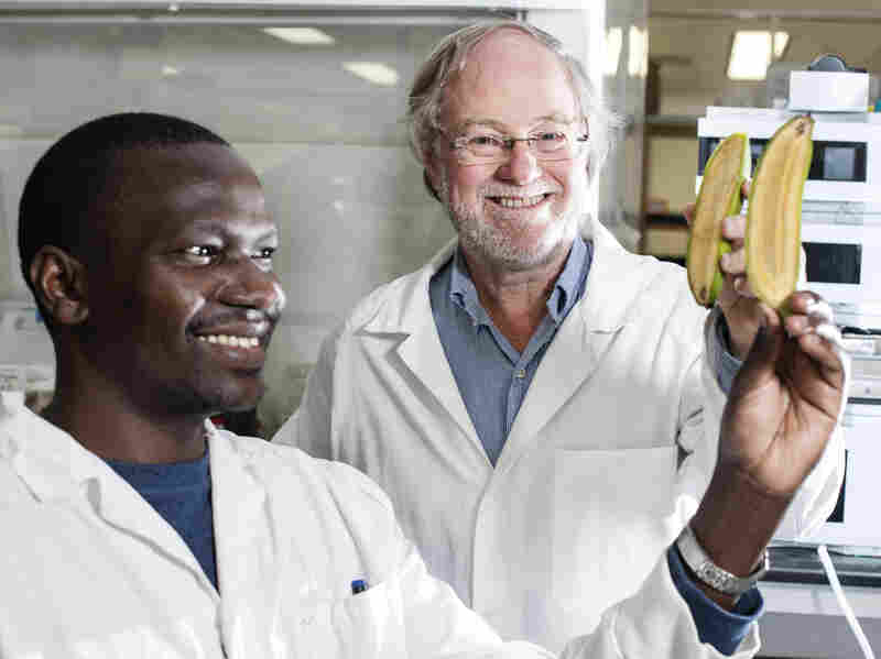 Ugandan researcher Stephen Buah and Professor James Dale hold bananas bred to be rich in vitamin A at Queensland University of Technology.