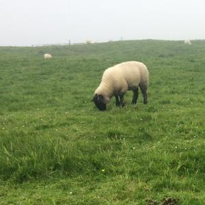 The bucolic Shetland Islands are home to barely more than 20,000 people and 400,000 sheep. That's right, sheep outnumber people in Shetland 20 to 1.