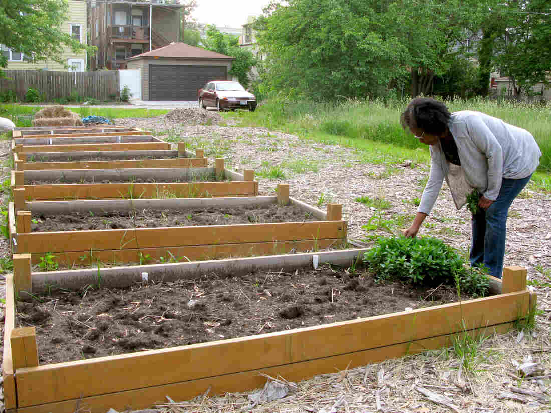 """Sonya Harper picks peppermint she's been growing in a vacant lot on her block in Chicago. With her neighbors, she's hoping to acquire two adjacent overgrown lots under the city's """"Large Lot Program"""" so they can expand the community garden."""