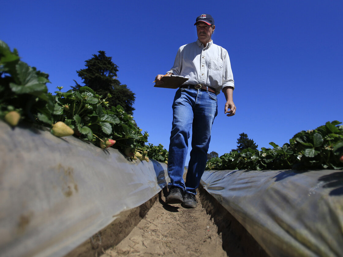 Douglas Shaw, a UC Davis plant science professor, walks through strawberry fields in Watsonville, Calif., in April. He runs a strawberry growing and test facility there.