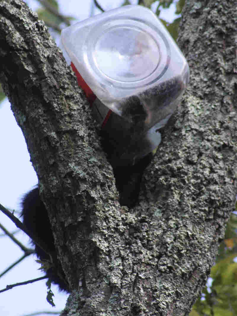 A bear cub that had to be rescued from a tree after getting its head stuck in a cookie jar is shown in a handout photo from the New Jersey Department of Environmental Protection.