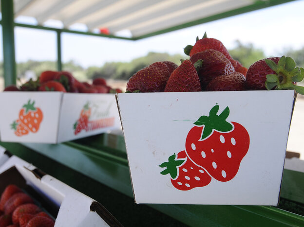Trays of albion strawberries are on display at the Bob Jones Ranch fruit stand on Aug. 25, 2012 in Oxnard, Calif.