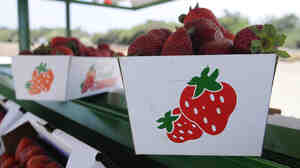 Trays of albion strawberries are on display at the Bob Jones Ranch fruit stand on Aug. 25, 2012 in Oxnard, Calif