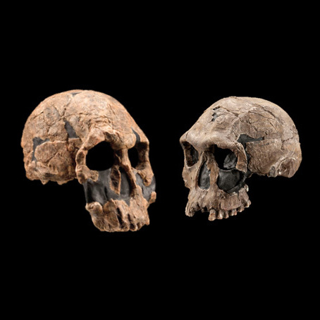 Between 2.1 and 1.8 million years ago, the oldest known species of the human genus, Homo,  exhibited diverse traits.