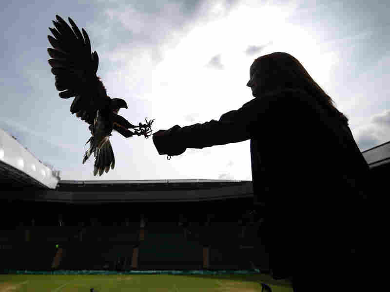 Imogen Davis catches Rufus, a Harris hawk, in the stands above Centre Court at Wimbledon. Rufus scares off pigeons who try to eat the ryegrass on the tennis court