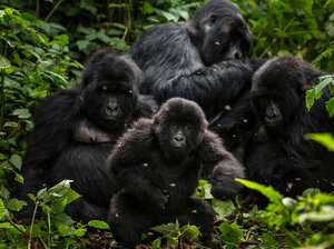 Gorillas in Virunga National Park in Democratic Republic of Congo, in 2013. Great apes like the gorilla have become increasingly threatened by the expansion of palm oil production in Africa.