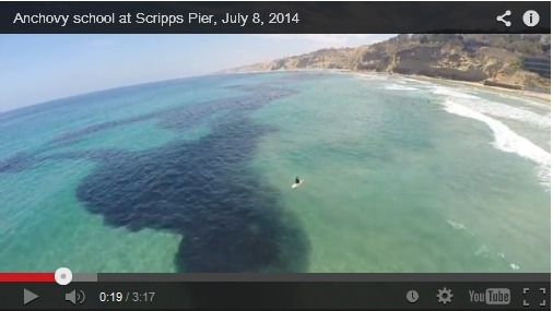 WATCH: Giant Undulating Anchovy School
