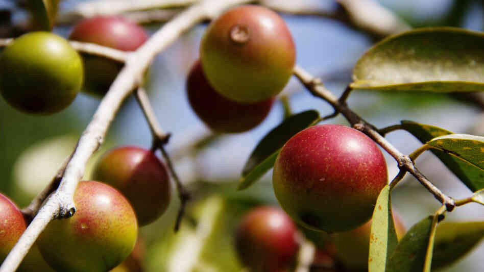 Camu camu berries grow wild on trees alongside flooded rivers in the Amazon rainforest in Brazil and Peru.