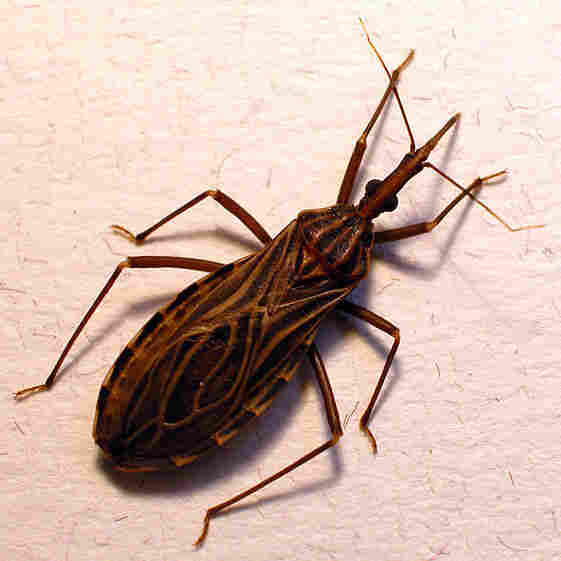 Don't let the name fool you. The kissing bug, or Rhodnius prolixus, isn't your friend. The insect transmits the Chagas parasite when it bites someone's face.
