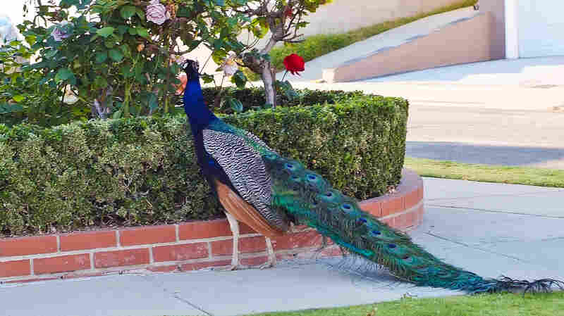 One of the many peacocks living in the Palos Verdes area of Southern California.