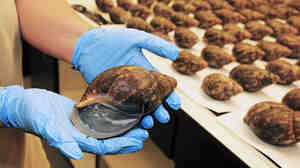 A single snail from an air cargo shipment of 67 live snails that arrived at Los Angeles International Airport on July 1. Officials said that the 35 pounds of snails arrived from Nigeria along with paperwork stating they were for human consumption.